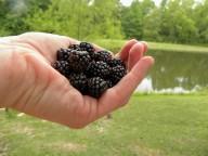first wild blackberries