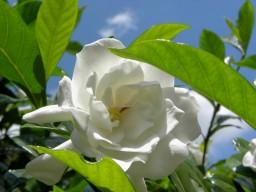 sweet white