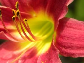 lily dark pink and green