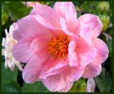 frilly pink (© 2010 Tisha Clinkenbeard)