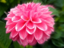 focus on pink (© 2011 Tisha Clinkenbeard)