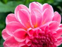 pink petals with yellow (© 2011 Tisha Clinkenbeard)