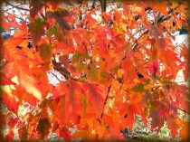 leaves (© 2011 Tisha Clinkenbeard)