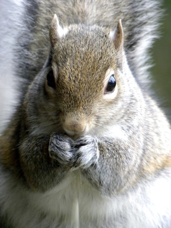 squirrel IV