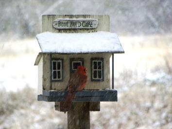 cardinal (© 2010 Tisha Clinkenbeard)