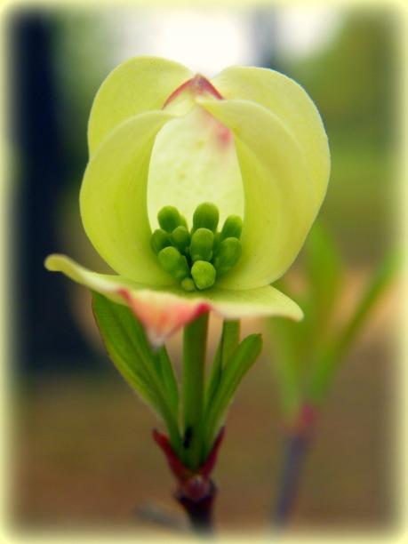 blooming dogwood (© 2011 Tisha Clinkenbeard)