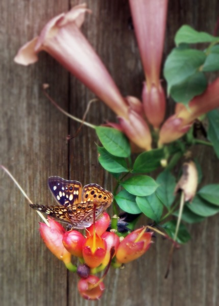 butterfly (©2011 Tisha Clinkenbeard)