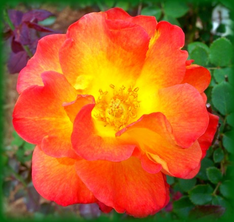 mardi gras rose (© 2011 Tisha Clinkenbeard)