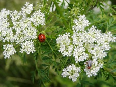 little ladybug (©2011 Tisha Clinkenbeard)