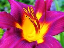 purple and yellow lily (© 2011 Tisha Clinkenbeard)