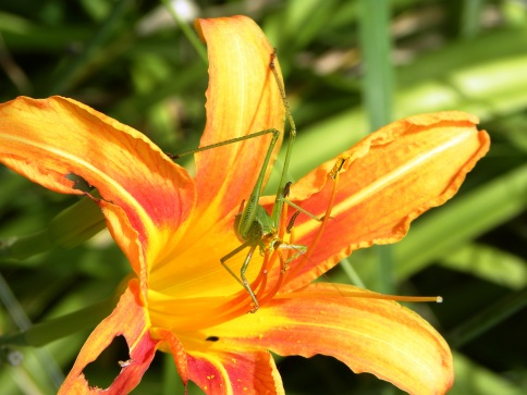 grasshopper on the lily (©2011 Tisha Clinkenbeard)