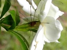 spider in the gardenia (©2011 Tisha Clinkenbeard)