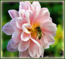 sweet bee (©2011 Tisha Clinkenbeard)
