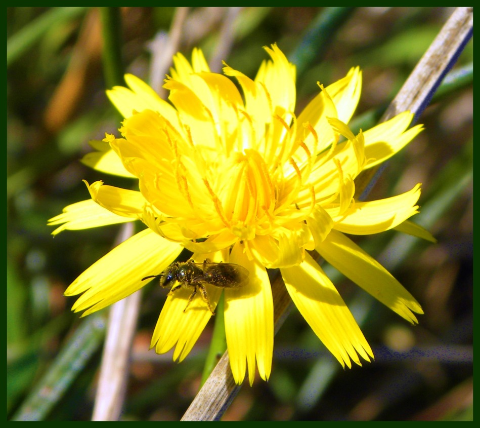 ant on yellow flower (©2011 Tisha Clinkenbeard)