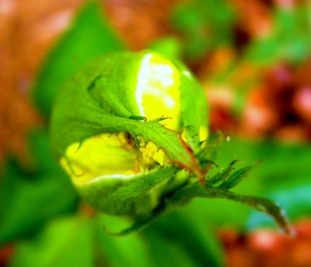 first yellow rose bud (© 2011 Tisha Clinkenbeard)