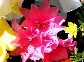 azaleas (© 2011 Tisha Clinkenbeard)