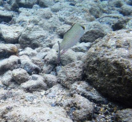 bandit fish