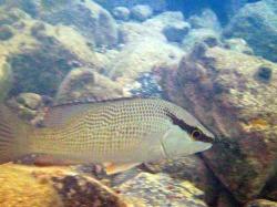 bandit fish II