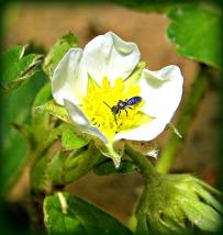 strawberry bloom visitor (©2010 Tisha Clinkenbeard)