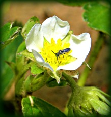 strawberry bloom visitor (©2010 Tisha Clinkenbeard)