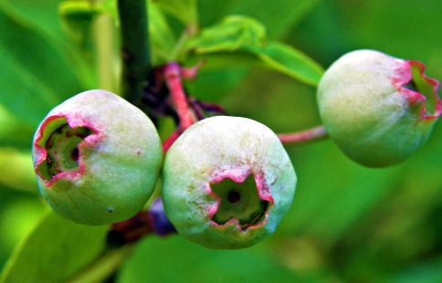 blueberries in the making (©2010 Tisha Clinkenbeard)