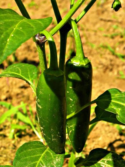 pepper pair (©2010 Tisha Clinkenbeard)