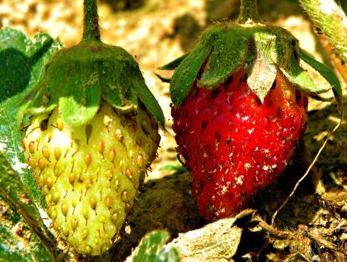 phases of the strawberry (©2010 Tisha Clinkenbeard)