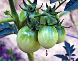 one tomato, two tomato... (©2010 Tisha Clinkenbeard)