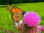 butterflies VII
