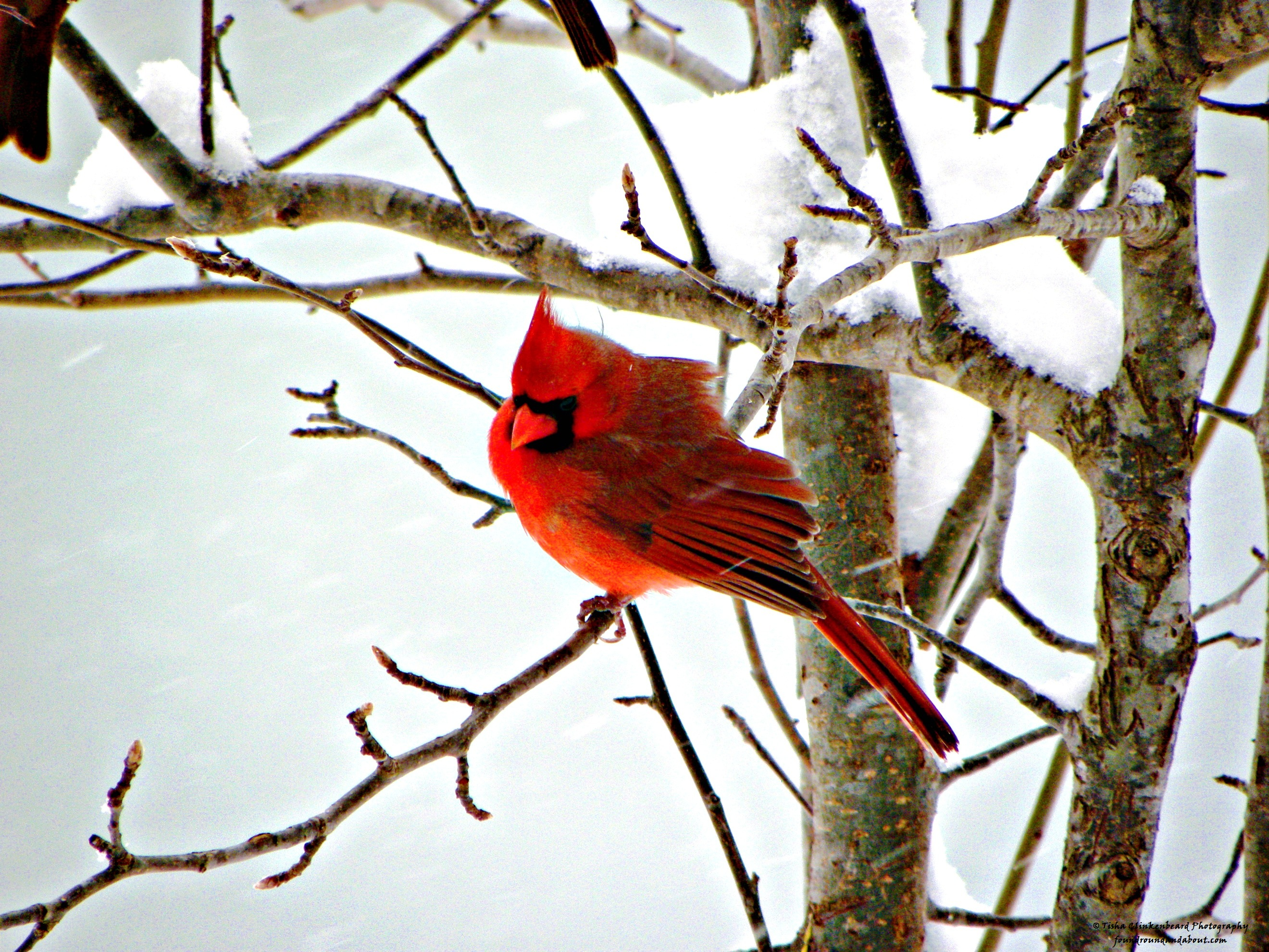 Cardinal found round about - Pictures of cardinals in snow ...