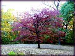 Glenna's Dogwood in the Fall
