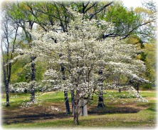 Glenna's Dogwood in the Spring