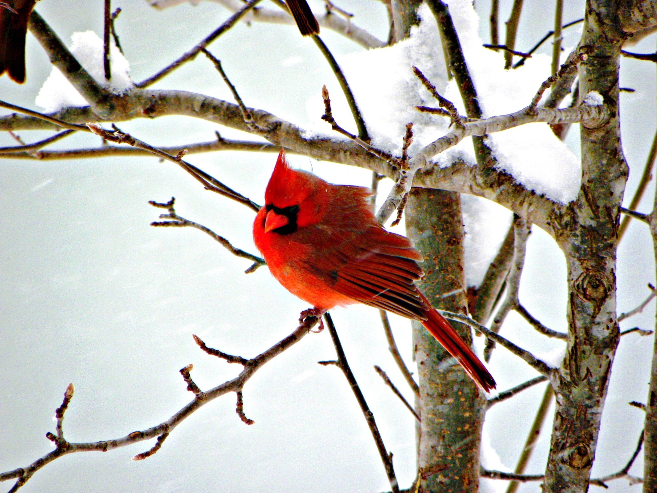 Winter cardinal images