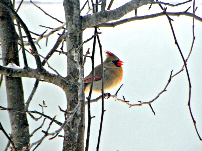 winter red beak