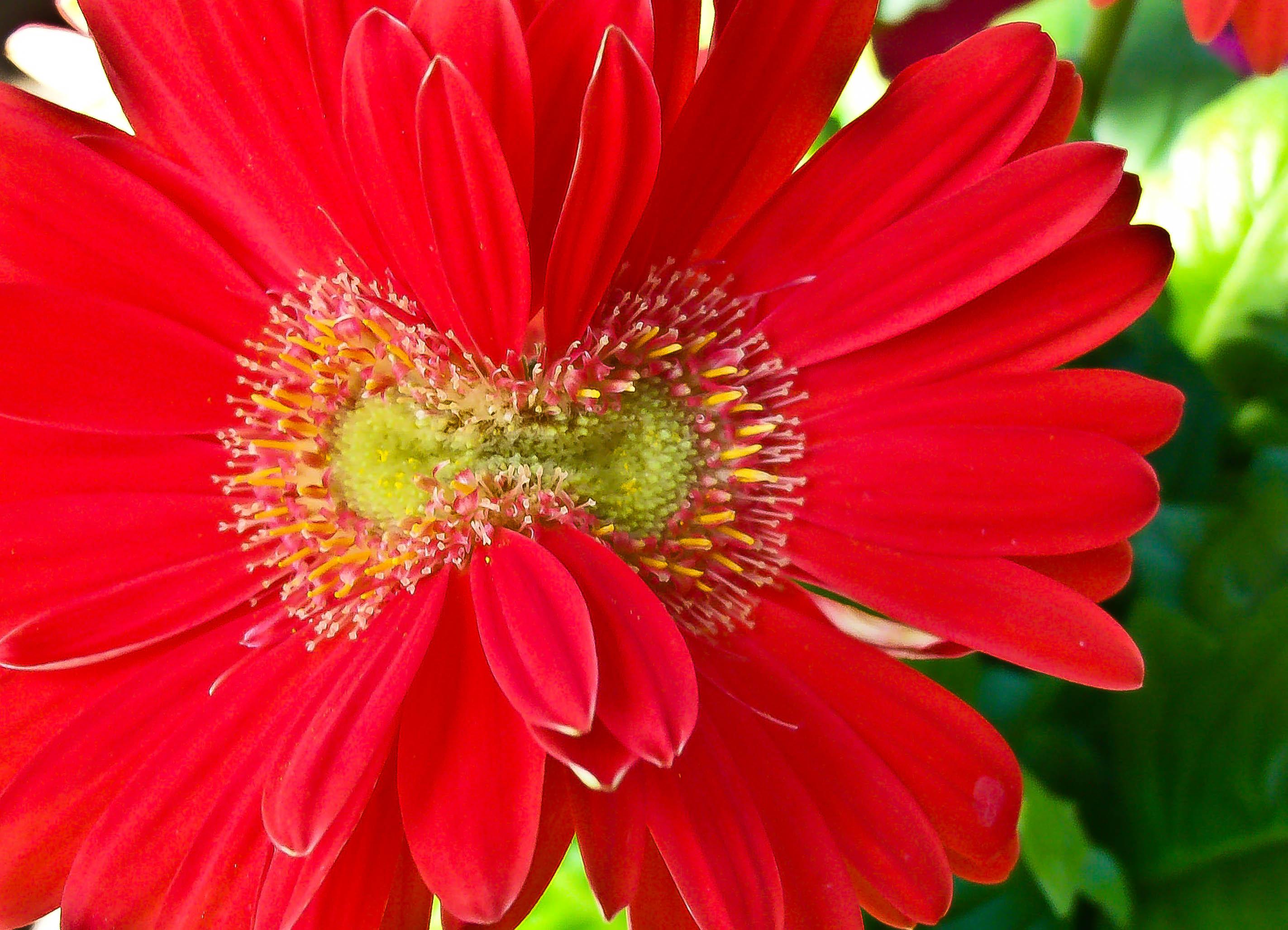 Gerbera daisy found round about share izmirmasajfo