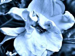 blue gardenia2
