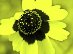 yellow flower toning
