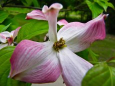 pink dogwood bloom Honor Heights