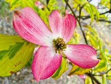 all pink dogwood bloom honor heights