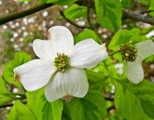 white dogwood bloom honor heights