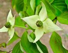 yellow dogwood blooms honor heights