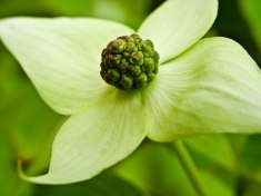 close up yellow dogwood bloom honor heights