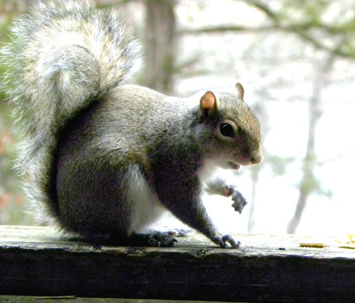 squirrel in Beavers Bend