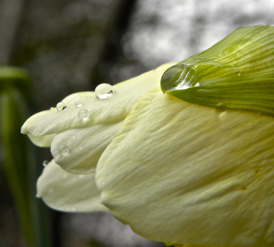 sprinkled with rain daffodil