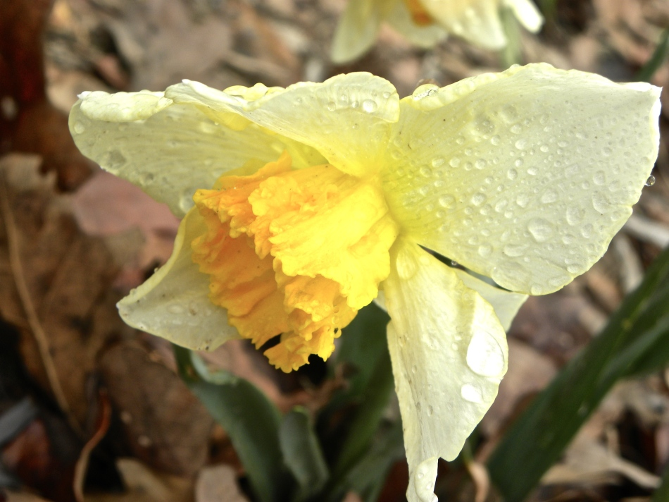 Flashing Daffodil