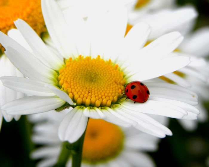 a ladybug and a daisy