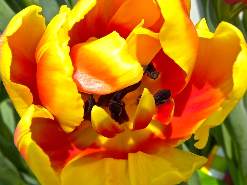 yellow orange red tulip