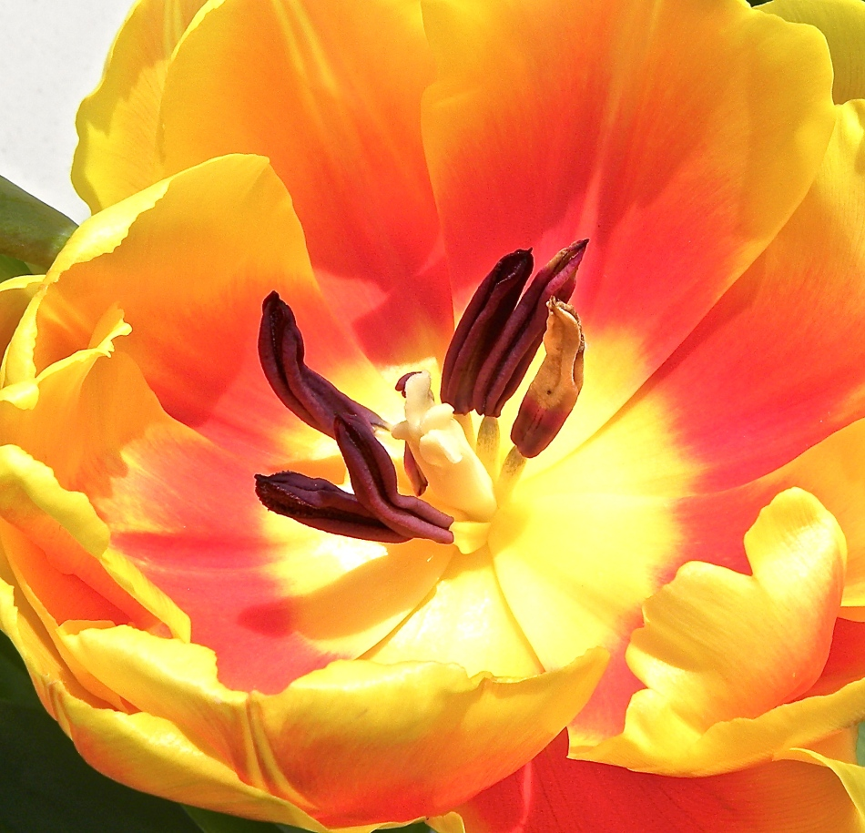yellow red orange tulip center