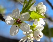 bradford pear 2013 b
