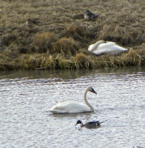 duck goose at elk refuge